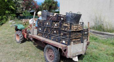 patatas cosecha - copia